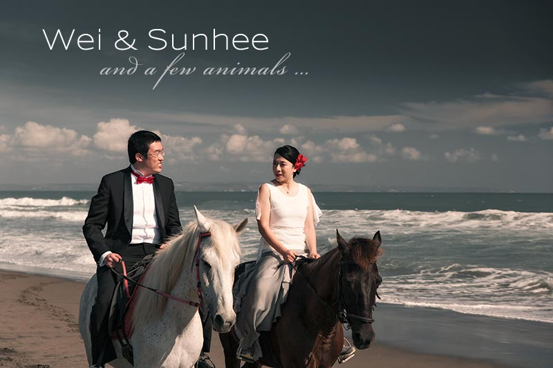 Bali Pre wedding photography with horses, cows, dogs and geese